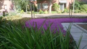 Thijm in de bloei